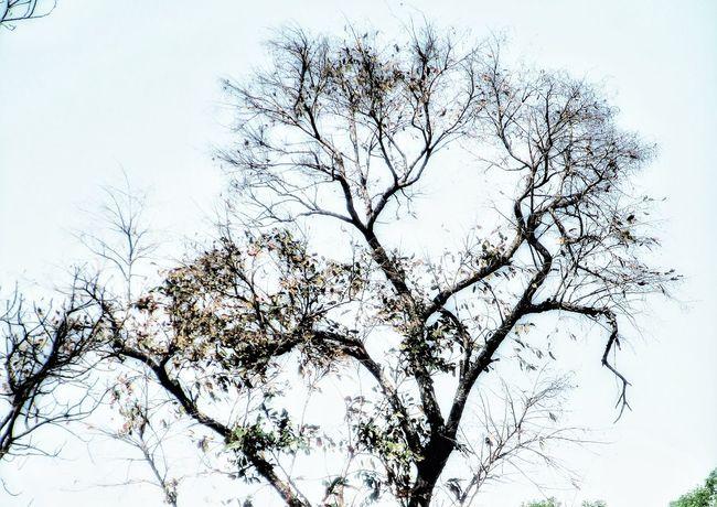 Tree Branch Backgrounds Silhouette Sky Treetop Bare Tree Single Tree Dried Plant Dead Tree Dead Plant Tree Canopy