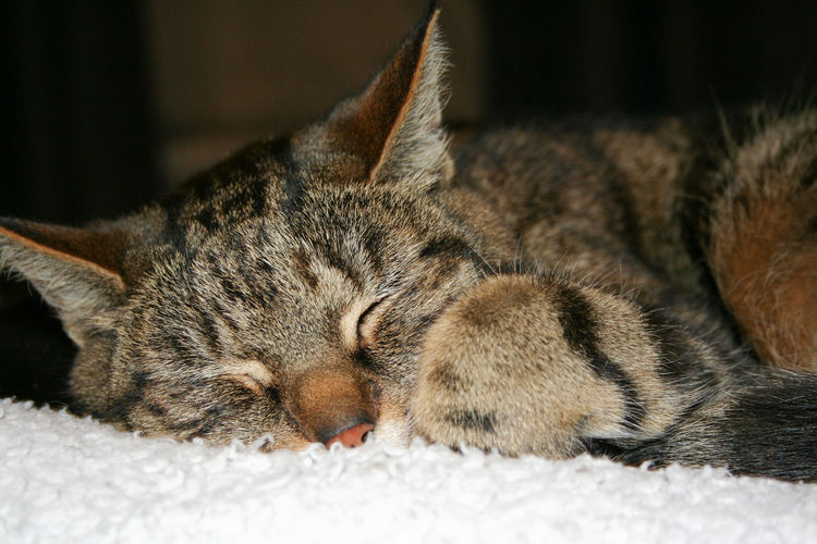 Close-up of cat sleeping on pet bed at home
