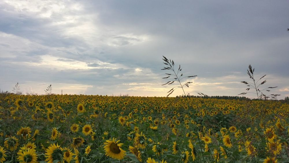 Agriculture Beauty In Nature Change Cloud Day Field Growing Growth Landscape Nature No People Outdoors Relaxing Moments Rural Scene Sky Sunflower Tranquil Scene Yellow