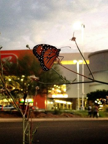 Beautiful Sunset Mariposas Monarcas