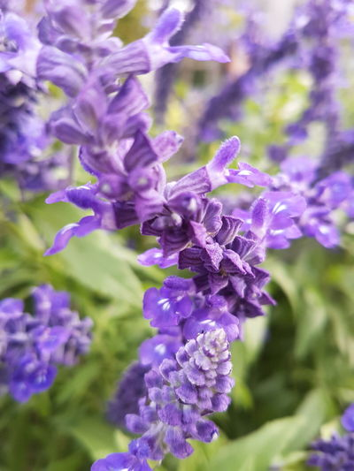Good morning to all. 😁 Flower Head Flower Purple Lavender Close-up Plant Lavender Colored Botany Flowering Plant In Bloom Blossom Botanical Garden Blooming Plant Life