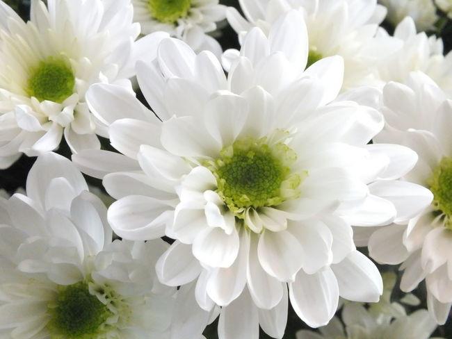 CHRYSANTHEMUM WHITE Beautiful Flower Flowers Cute♡ Flowerporn Flower EyeEm Flower EyeEmbestshots