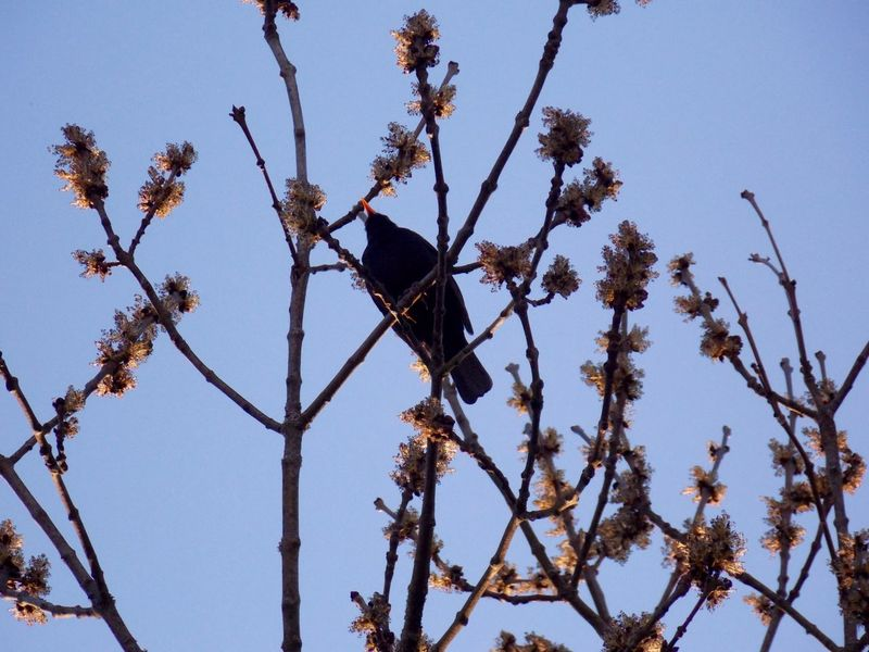 Blackbirds On A Tree Flowers, Nature And Beauty Flowers