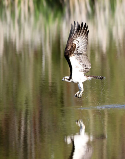 Close-up of osprey landing on lake