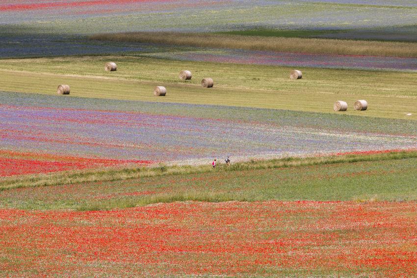 The flowering of Castelluccio 2018 Castelluccio Di Norcia Castelluccio Valley Colored Flowering Castelluccio Castelluccio2018 Castellucciodinorcia Lenticchie Lentil Multi Colored Norcia