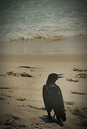 Crow Nature Photography Beachphotography Ocean Sandy Beach Waves North Carolina Bird Photography