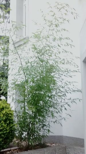 Bamboo In 3rd Period  Outdoors Nature Landscape_photography Window Tree Day Plant Landscape_Collection Plant No People Green Color Flowers,Plants & Garden