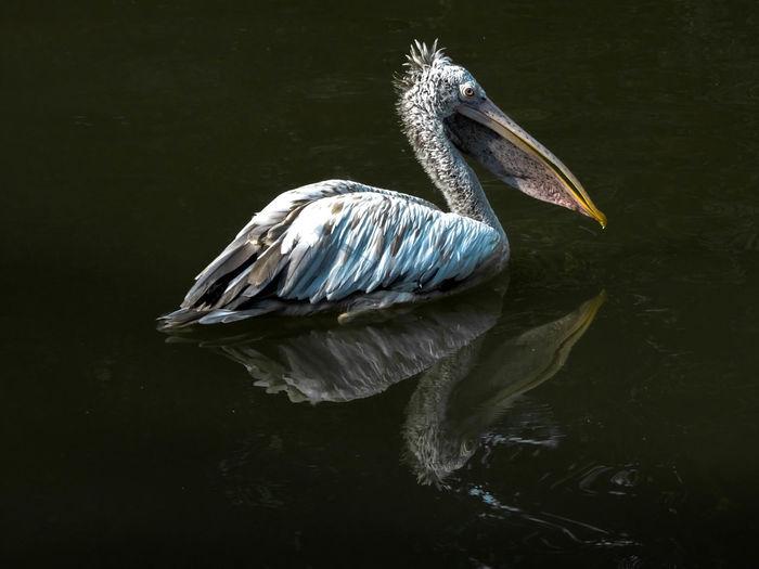 Close-up of pelican swimming in lake