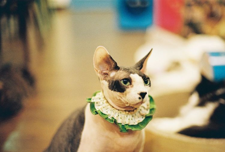 Cute Sphynx Cat Cat Cute Sphynx Cat One Animal Mammal Pets Domestic Domestic Animals Canine Vertebrate Focus On Foreground Small Portrait Close-up No People Looking At Camera Looking French Bulldog