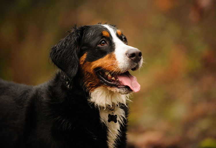 Bernese Mountain Dog Animal Head  Animal Themes Bernese Mountain Dog Bernese Mountain Dogs Canine Day Dog Domestic Animals Forest No People Outdoors Pet