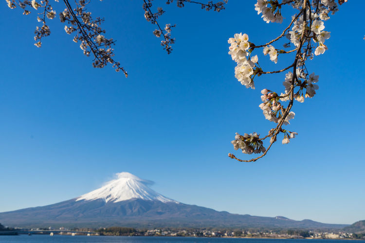 Fuji Mountain Fuji Mountain Area Fuji Mt. Sakura Beauty In Nature Blossom Blue Branch Cherry Blossom Cherry Tree Clear Sky Day Flower Flowering Plant Fragility Freshness Growth Mountain Nature No People Outdoors Plant Scenics - Nature Sky Snowcapped Mountain Springtime Tranquil Scene Tranquility Tree