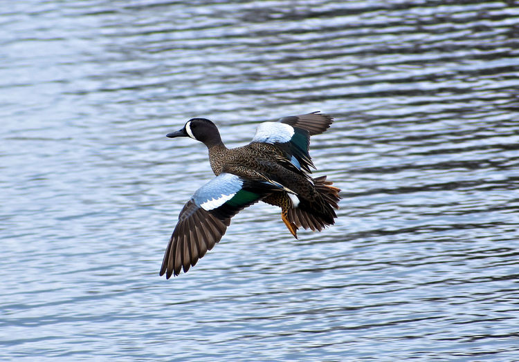 Blue Winged Teal Mallard Teal Animal Themes Animal Wildlife Animals In The Wild Beauty In Nature Bird Bird In Flight Bird Of Prey Day Duck Flapping Flying Lake Mallard Duck Mid-air Nature One Animal Outdoors Spread Wings Water Waterfowl Waterfront Wildlife