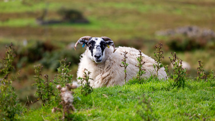 Portrait of sheep sitting on grass