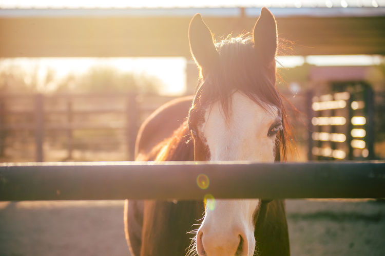 Brown and white horse standing in fenced stable or corral area in golden hour sunlight. Horse Life Horses Scottsdale Sunset_collection Animal Animals In Captivity Equestrian Equestrian Life Equine Equine Photography Golden Hour Golden Light Horse Horse Photography  Sunset Sunsets