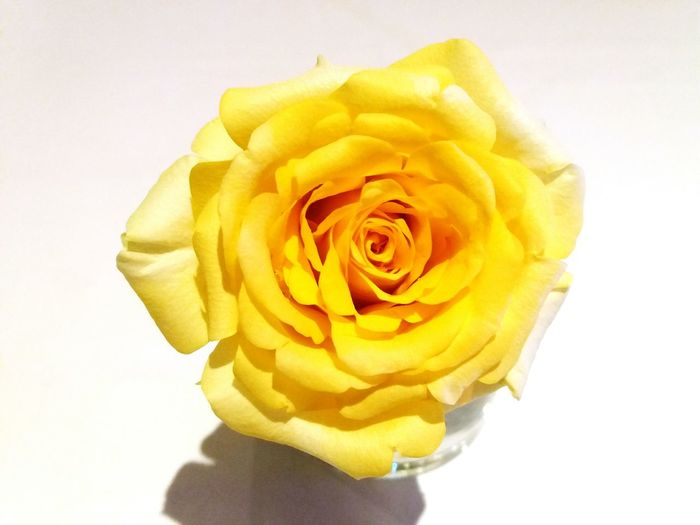 Close-up of yellow rose against white background
