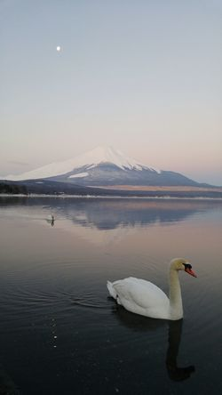 The swan know what's going on at Lake Yamanaka. Lake Yamanaka Japan Fuji Mtfuji Yamanakako North Cold Swan Sunrise Beauty EyeEm Best Shots EyeEm Nature Lover EyeEm Android Travel Early Outdoors Nature