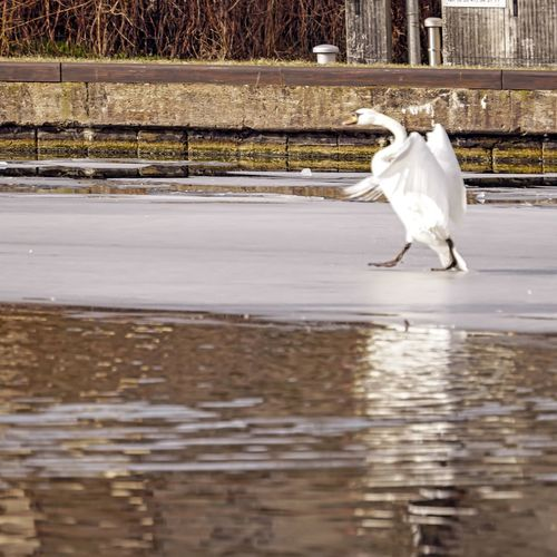 White horse in a lake