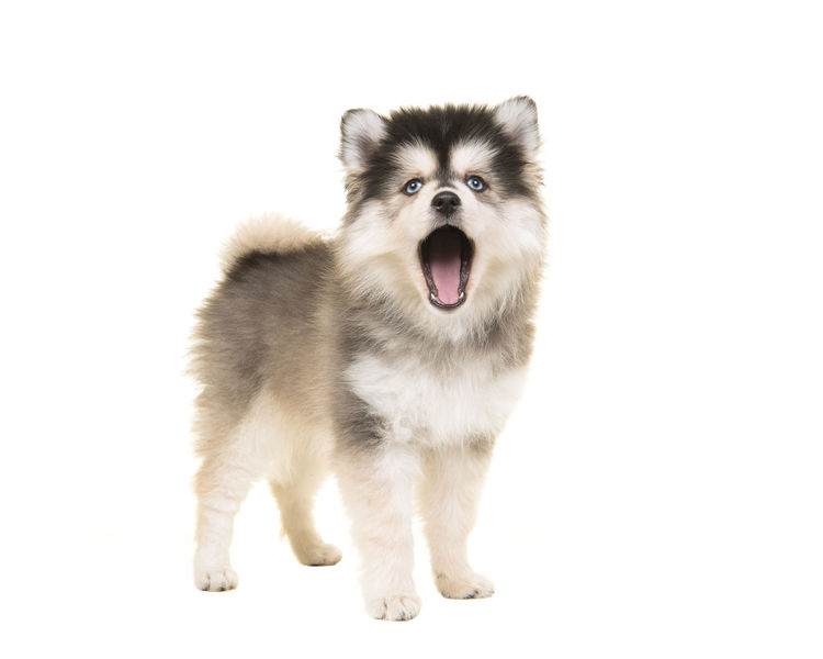 Cute standing mini husky pomsky puppy with open mouth as speaking or singing with blue eyes isolated on a white background Singing Animal Animal Themes Canine Cute Puppy Dog Looking At Camera Mini Horse Mouth Open Mouth Open Pets Pomsky Pomsky Puppy Puppy Speaking Standing Studio Shot White Background