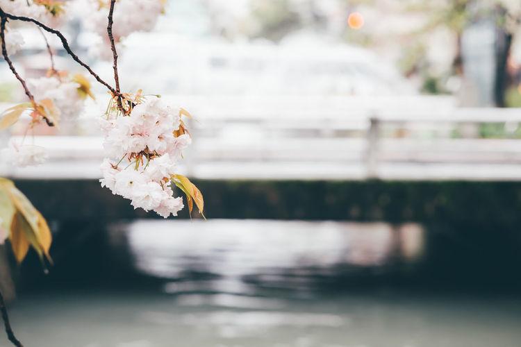 First Sakura @ Osaka Sakura Bokeh Bridge Canal Flower Outdoors Sakura Blossom Spring Spring Flowers Water