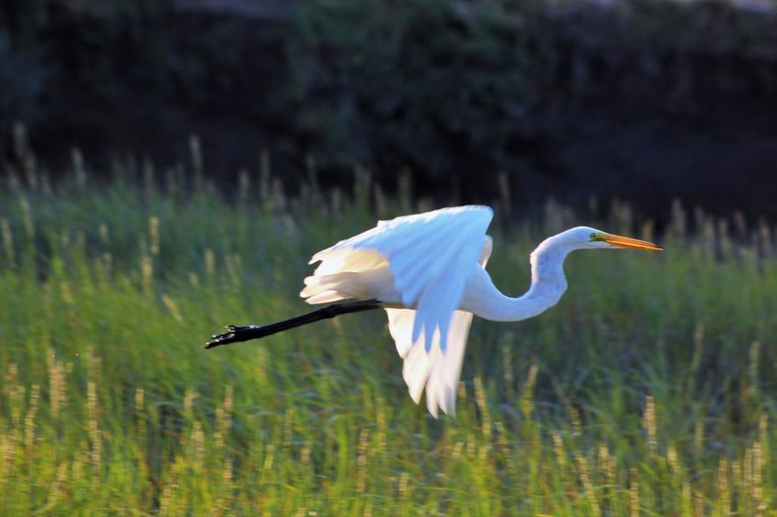Animal Themes Animal Wildlife Animals In The Wild Beak Beauty In Nature Bird Close-up Day Flying Focus On Foreground Grass Great Egret Lake Mid-air Nature No People One Animal Outdoors Side View Spread Wings Water White Color EyeEmNewHere #FREIHEITBERLIN