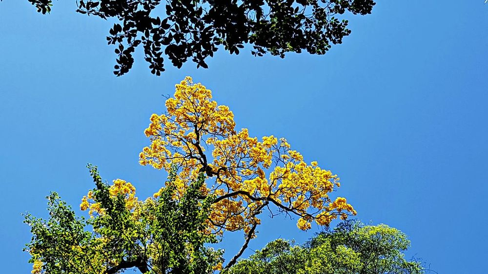 Beauty In Nature Blue Branch Clear Sky Day Flower Fragility Growth Leaf Low Angle View Nature No People Outdoors Rain Forest Tree Sky Spring Flowers Tree Yellow Yellow Ipê Flowers