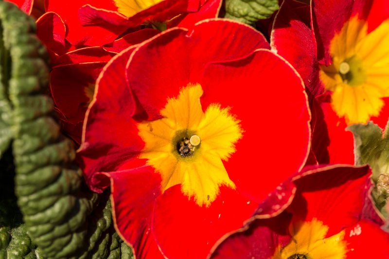 Red flowers and green leaveas on the green field Beauty In Nature Blooming Close-up Day Flower Flower Head Fragility Freshness Growth Nature No People Outdoors Petal Plant Red Vibrant Color Yellow