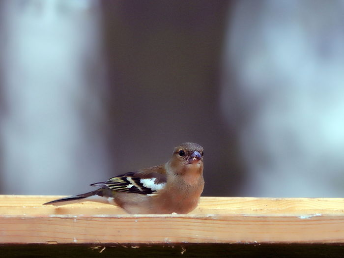 Close-up of bird perching on wooden table