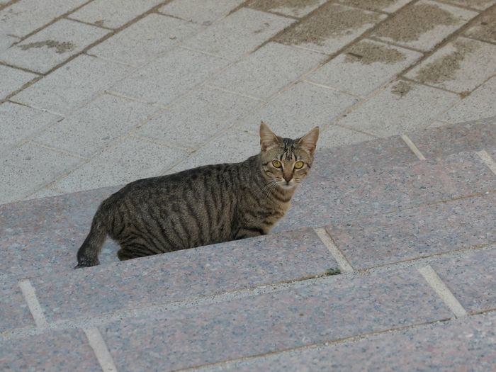 Cats of Mula EyeEm Selects Pets Domestic Domestic Animals Mammal Domestic Cat Cat One Animal Feline Vertebrate High Angle View Footpath No People Looking At Camera Portrait Day Street Relaxation Whisker Paving Stone Tabby