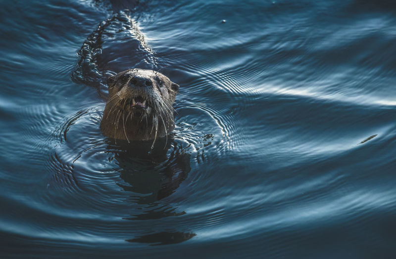 Otter River Otter Animal Splashing No People Purity Water Rippled Swimming Close-up Freshness Isolated Nature Outdoors Real Life Showing Teeth Facing Camera Close Up West Coast Vancouver Island East Sooke Park Droplets Whiskers Cute Open Mouth