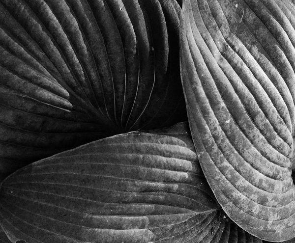 Nature Blackandwhite Garden Hosta OpenEdit