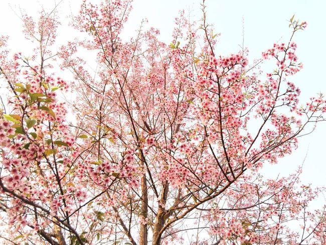 Wild Himalayan Cherry Prunus Cerasoides Prunus Doi Luang, Chiang Dao Sakura Thailand Cerasoides Chiang Dao Chiang Mai   Thailand Flower