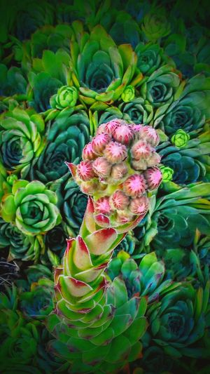 Chickens And Hens Green Nature A Touch Of Pink Growing Summer ☀ Long Summer Days Garden Photography Botanical Gardens. Beauty In Nature Blossoms  Buds Magic In The Garden Gorgeous ♥ Enjoying Life Green Thumb Amazing Nature Wildlyattracted Alot Of Love <3. Amazing Gallery Beautiful Nature Gardens Best Gardening I❤this App I ❤this Picture Oregon Beauty