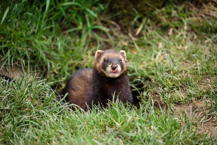 Ferret on field