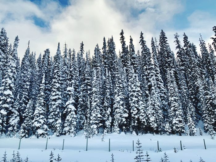Snowy trees in