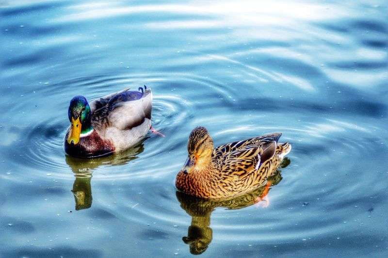 Two Ducks Floating On Lake