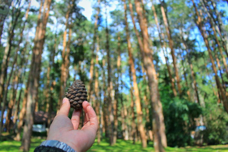Cropped hands of person holding pine cone in forest