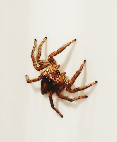 Spider on my wall Spider Animal Themes Close-up Spider Macro Spider Eyes Spiders Pet Portraits