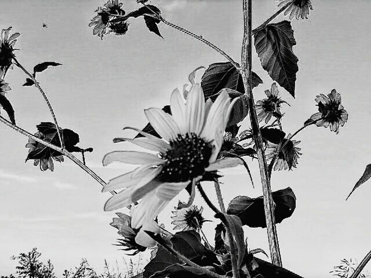 Sunflower in field. Taking Photos Check This Out Hello World Cheese! Relaxing Enjoying Life World_bnw Ks_pride Wow_america_bnw America Kansas Atchison Instapic Wow_america_landscape Kansasphotos Kansasphotographer Atchisonks Enjoying Life Hi! Fuckyeah Wow_america Worldwide