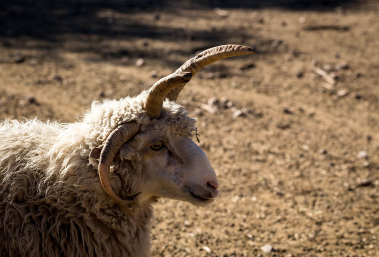 ram RAM Horns White Animal Themes Farm Whool EyeEm Selects Cheetah Pets Dog Close-up Animal Hair