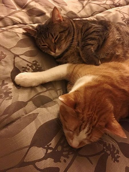 Sleepyheads... Pets Pet Cat Cats Cat♡ I Love My Cats  Sleeping Cats Dreaming Cats Togetherness Affection