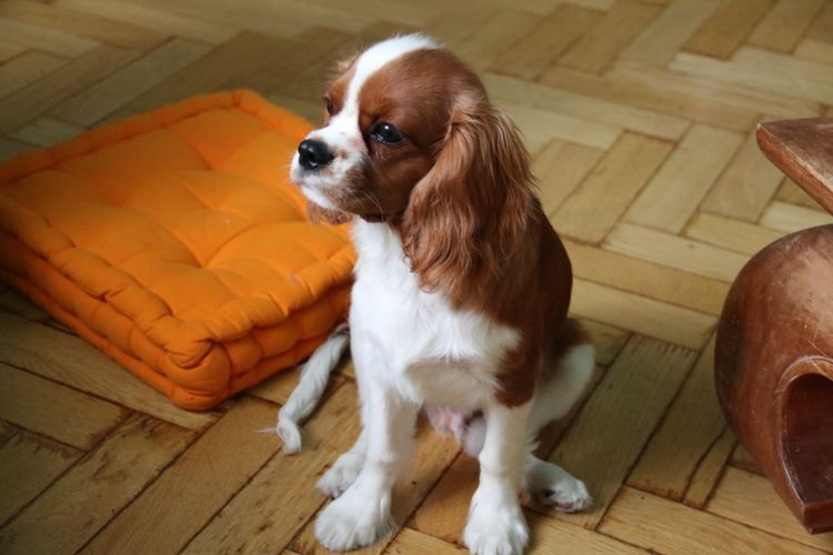 High angle view of cavalier king charles spaniel sitting by orange cushion at home