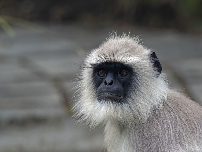 Alpha Male Southern Plains Gray Langur (Semnopithecus dussumieri) Animal Wildlife One Animal Animals In The Wild Mammal Primate Focus On Foreground Vertebrate Close-up Day Portrait No People Animal Body Part Looking Animal Hair Looking At Camera Langur