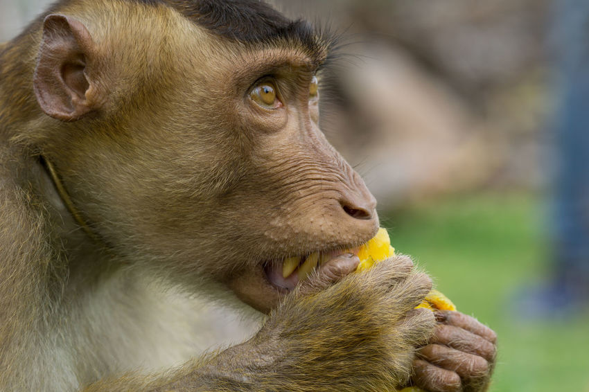 Domestic macaque monkey eating a star fruit in Kota Baharu, Malaysia Ape Eating KINGDOM Star Fruit  Wildlife & Nature Animal Wildlife Macaque Monkey Potrait