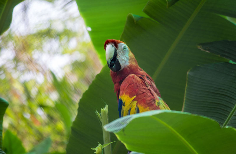 Scarlet Macaw resting on Banana tree Animal Themes Animal Wildlife Animals In The Wild Beauty In Nature Bird Green Color Growth Leaf Macaw Macaw Bird. Macaw Parrot Macaw Red Macaw Red And Go Nature Outdoors Parrot Perching