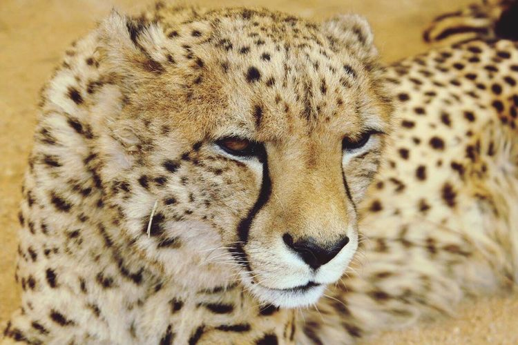Cheetah at the big cat sanctuary in South Africa Animals In The Wild Spotted Cheetah Feline Close-up