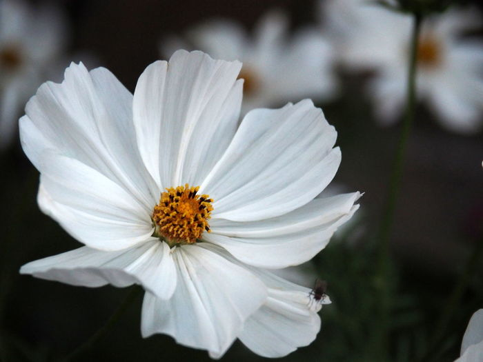 Close-up of white cosmos flower
