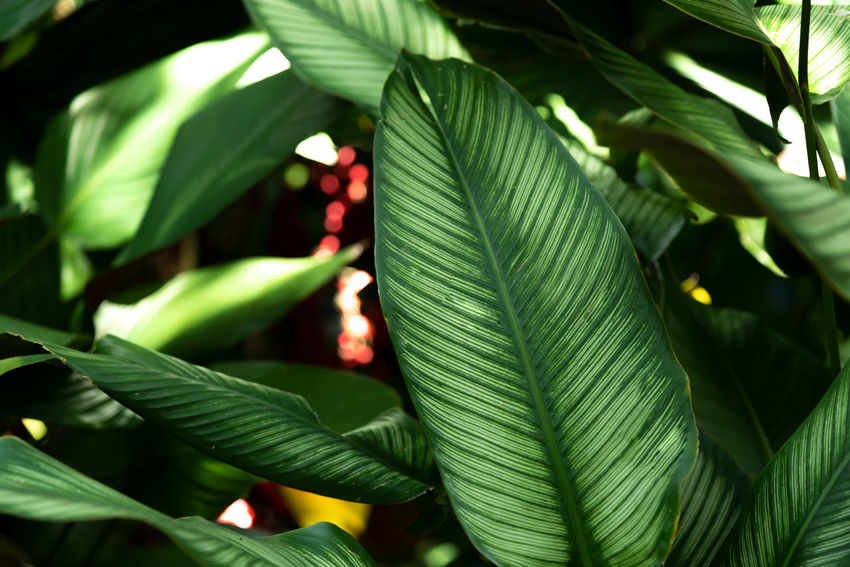 Tropical green leaves background Beauty In Nature Close-up Day Focus On Foreground Food And Drink Freshness Full Frame Green Green Color Growth Leaf Leaf Vein Leaves Nature No People Outdoors Palm Leaf Plant Plant Part Tranquility Tree