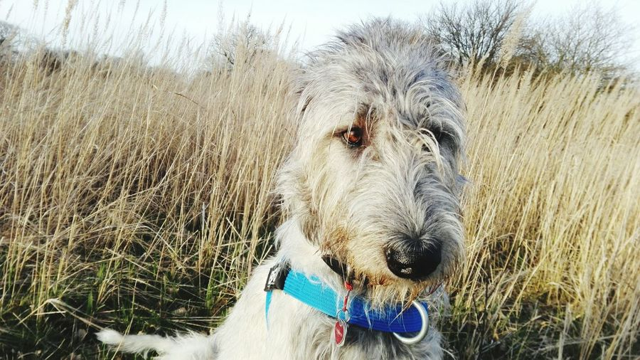 Domestic Animals Grass Outdoors Close-up Nature Bokeh One Animal Springtime Cearnaigh Dogwalk Dogslife Dogs Of EyeEm Dog Of The Day Dogs Of Spring Irish Wolfhound A Walk In The Park March 2017 Herrenkrugpark Spring 2017 How Is The Weather Today? Animal Themes Sunlight