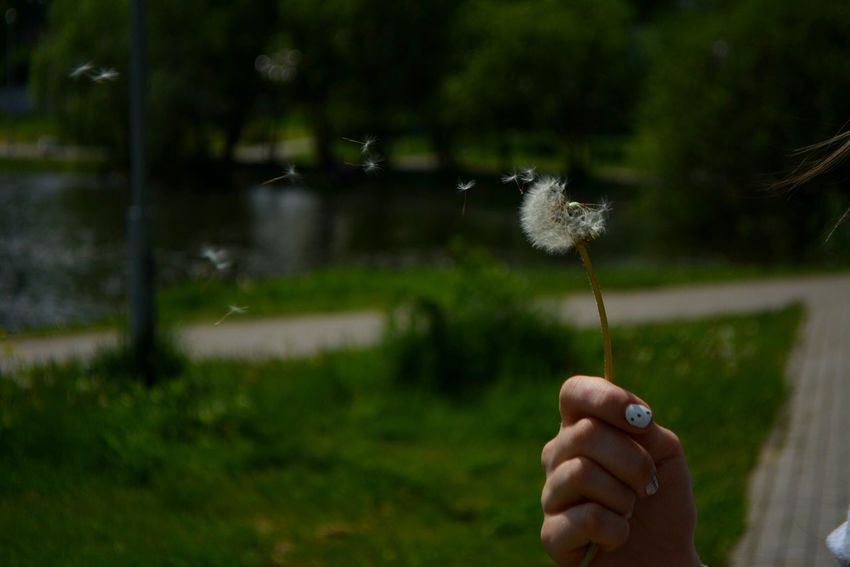 Person Holding Flower Focus On Foreground Part Of Dandelion Fragility Cropped Human Finger Freshness Personal Perspective Single Flower Nature Beauty In Nature Day Flower Head Outdoors Flying One Woman Only Wildflower