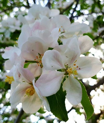 Flower Blossom Fragility Nature Springtime Growth Beauty In Nature Petal Botany Flower Head Freshness Close-up Plant White Color Uncultivated No People Day Outdoors Apple Blossom Petals Apple Blossom Apple Blossoms Tree Impending Summer